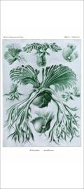 Haeckel Posters: Platycerium