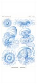 Haeckel Poster: Aequorea