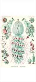 Plate 59: Strobalia