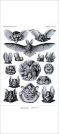 Haeckel Poster: Vampyrus