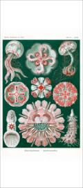 Haeckel Poster: Aurelia