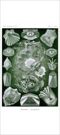 Haeckel Poster: Pegasus