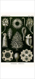 Haeckel Poster: Ascandra