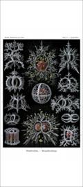 Haeckel Poster: Tympanidium