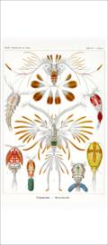 Haeckel Poster: Calanus