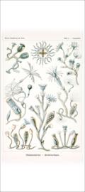 Plate 45: Campanulina