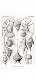 Haeckel Poster: Peridinium