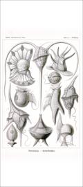 Plate 14: Peridinium