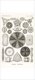 Haeckel Poster: Triceratium