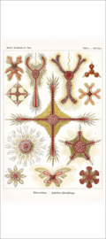 Haeckel Poster: Heliodiscus