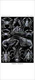 Haeckel Poster: Parthenope