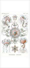 Plate 26: Carmaris