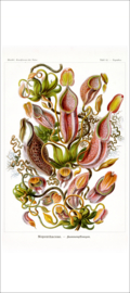 Haeckel Poster: Nepenthes