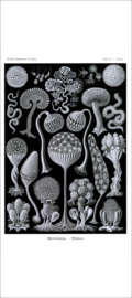 Haeckel Poster: Arcyria