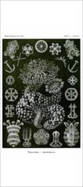 Haeckel Posters: Sporadipus