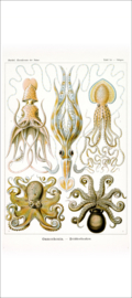 Haeckel Poster: Octopus