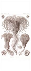 Plate 20: Pentacrinus
