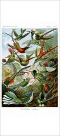 Haeckel Poster: Trochilus