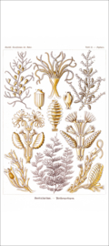 Haeckel Poster: Diphasia