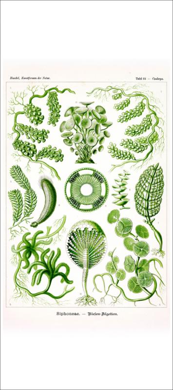 Haeckel Poster: Caulerpa