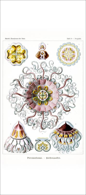 Tafel 38: Periphylla