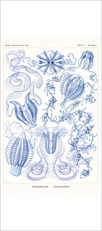 Plate 27: Hormiphora