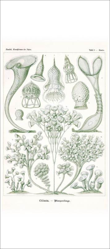 Haeckel Poster: Stentor