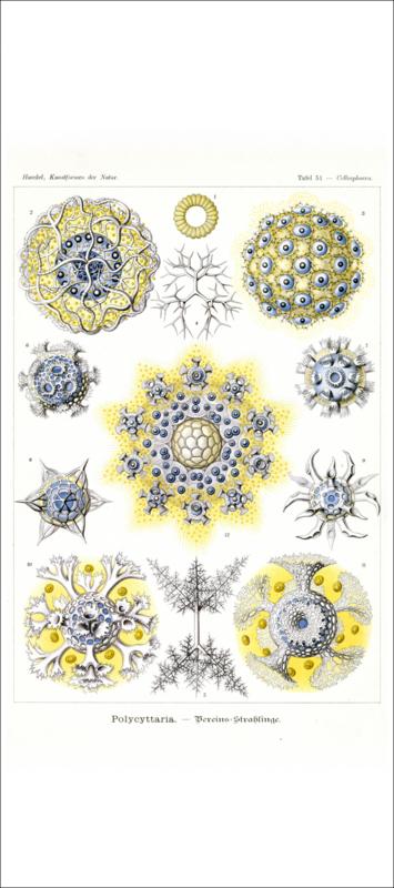 Tafel 51: Collosphaera