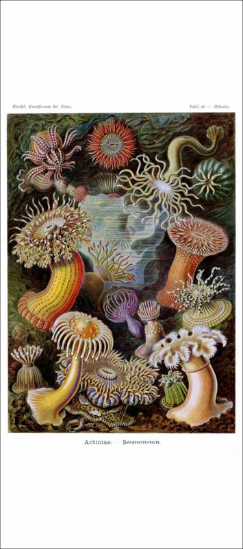 Haeckel Poster: Heliactis