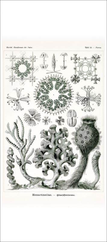 Haeckel Poster: Farrea