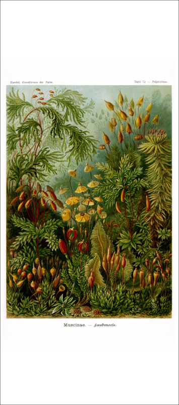 Plate 72: Polytrichum