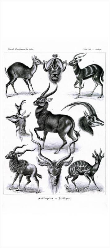 Haeckel Poster: Antilope