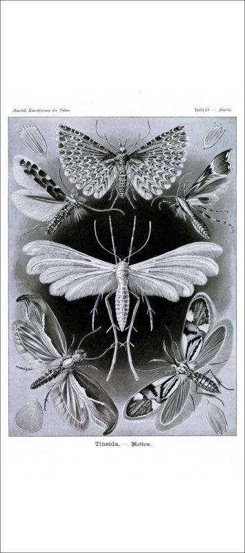 Haeckel Poster: Alucita