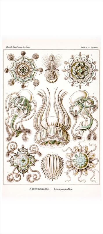 Tafel 16: Pegantha