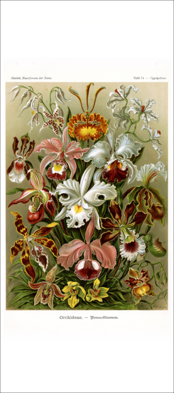 Haeckel Poster: Cypripedium