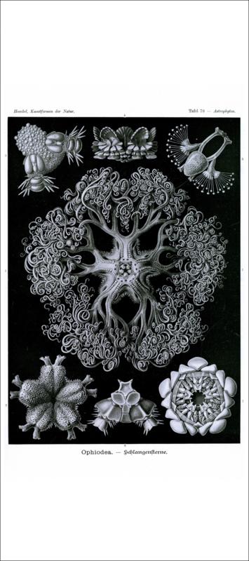 Haeckel Poster: Astrophyton