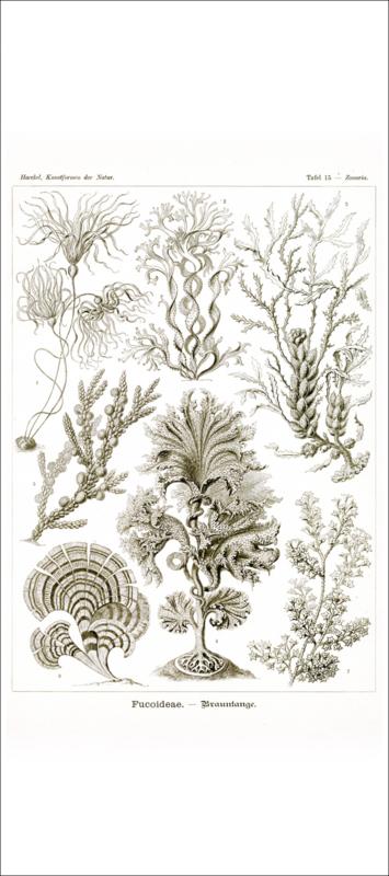 Haeckel Poster: Zonaria