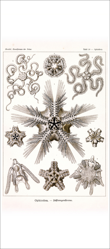 Haeckel Poster: Ophiothrix Ophiodea