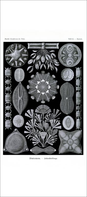 Haeckel Poster: Navicula