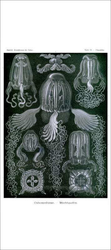 Haeckel Poster: Charybdea