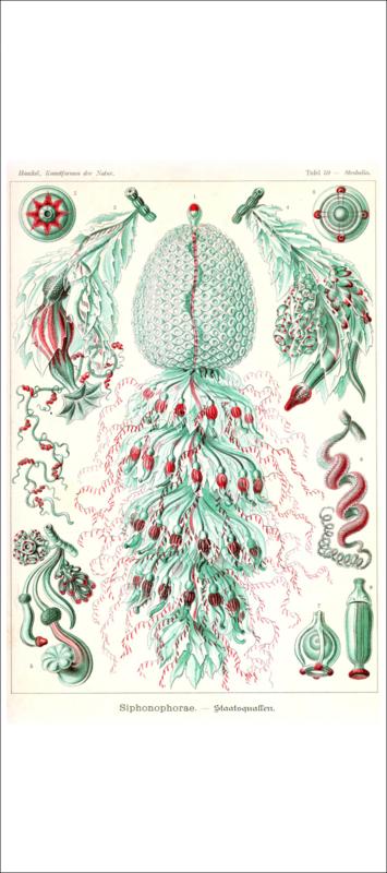 Haeckel Poster: Strobalia