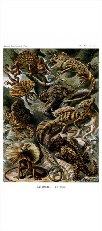 Haeckel Poster: Basiliscus