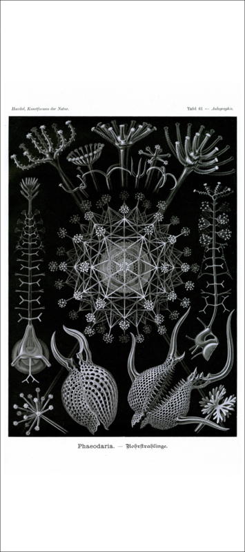 Haeckel Poster: Aulographis