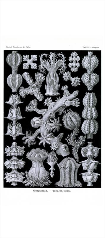 Tafel 39: Gorgonia