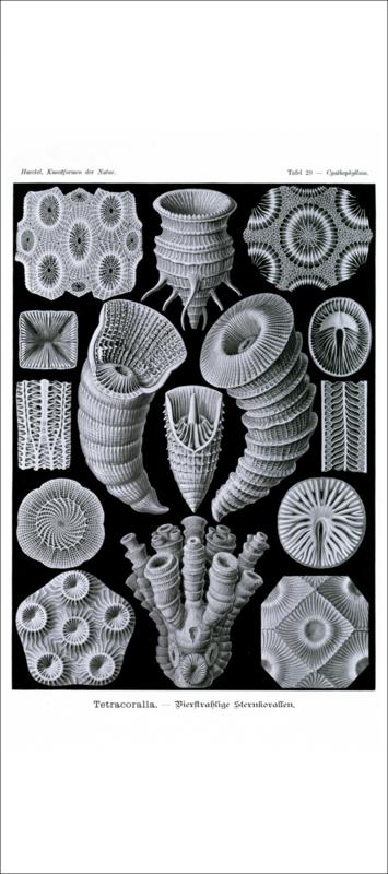Tafel 29: Cyathophyllum