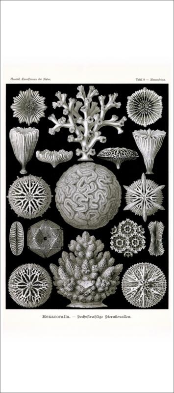 Haeckel Poster: Maeandrina