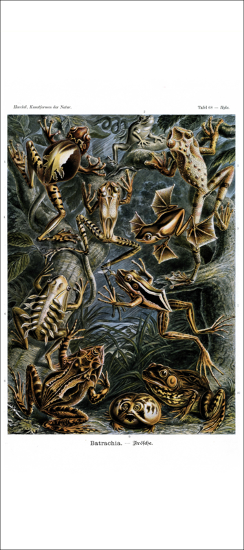 Haeckel Poster: Hyla