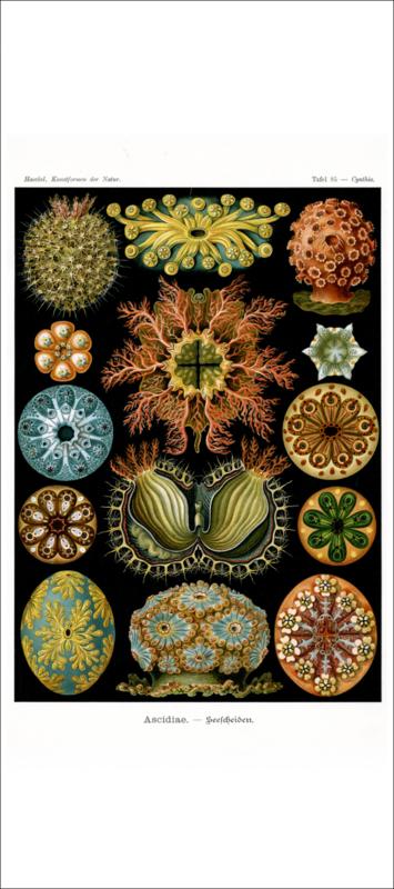 Haeckel Poster: Cynthia