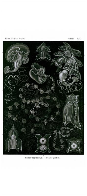 Haeckel Poster: Bassia