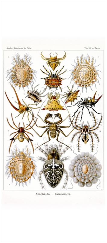 Haeckel Poster: Epeira